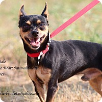 Adopt A Pet :: Tiny - Buchanan Dam, TX