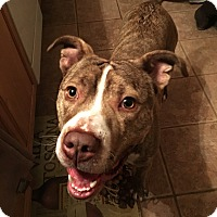Adopt A Pet :: Gizmo - Northville, MI