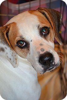 Pointer/Beagle Mix Dog for adoption in Okeechobee, Florida - Candi