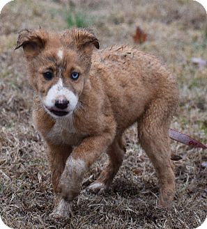 Australian Shepherd/Golden Retriever Mix Puppy for adoption in Windham, New Hampshire - Liam