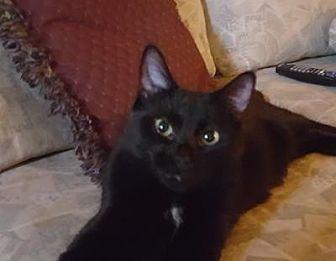 Domestic Mediumhair Cat for adoption in Hamilton., Ontario - India