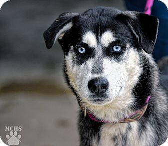 Husky Mix Dog for adoption in Martinsville, Indiana - Moe