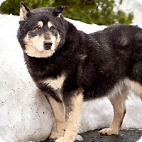 Husky/Shepherd (Unknown Type) Mix Dog for adoption in North Haven, Connecticut - Dergo
