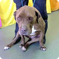Pit Bull Terrier Mix Dog for adoption in San Bernardino, California - URGENT 6/17 @ DEVORE