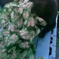 Adopt A Pet :: Batman - Brooksville, FL