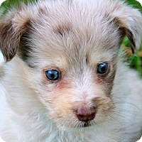 Adopt A Pet :: CHILI(GORGEOUS AUSSIE-POO PUP! - Wakefield, RI