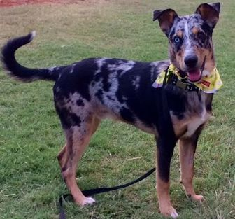 Border Collie/Catahoula Leopard Dog Mix Dog for adoption in Norman, Oklahoma - Captain