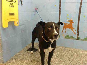 Pit Bull Terrier Mix Dog for adoption in San Bernardino, California - URGENT on 8/17 SAN BERNARDINO