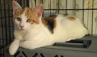 Calico Kitten for adoption in Half Moon Bay, California - Aquilina