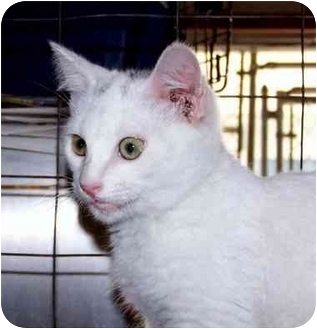 Domestic Shorthair Cat for adoption in Albany, Georgia - Smudge