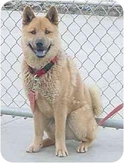Chow Chow/German Shepherd Dog Mix Dog for adoption in Austin, Minnesota - Tiffy