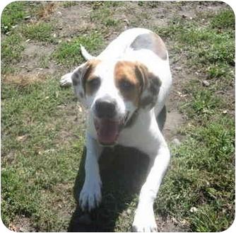 Harrier/English Setter Mix Dog for adoption in Portsmouth, Rhode Island - Cisco