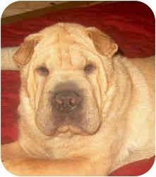 Shar Pei Puppy for adoption in Barnegat Light, New Jersey - Jasper
