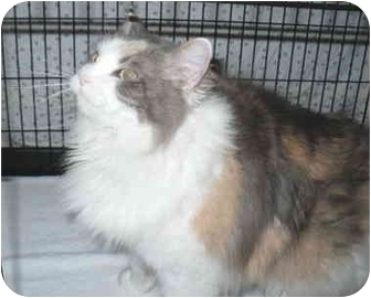 Maine Coon Cat for adoption in Colmar, Pennsylvania - Allie