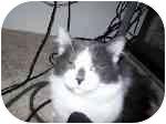 Domestic Longhair Cat for adoption in Ft. Myers, Florida - Chispas