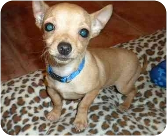 Chihuahua Puppy for adoption in Troy, Michigan - Jack