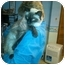 Photo 3 - Siamese Cat for adoption in Sterling Hgts, Michigan - Frankie (front declaw)