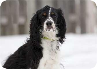 Cocker Spaniel Mix Dog for adoption in Ile-Perrot, Quebec - Millie
