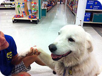 Great Pyrenees Dog for adoption in Wichita, Kansas - Everest