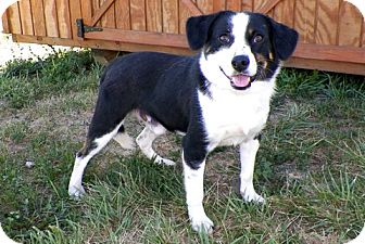 Bluetick Coonhound Mix Dog for adoption in Sullivan, Missouri - Sonny