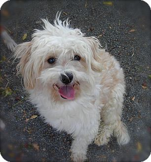 Maltese/Poodle (Miniature) Mix Dog for adoption in El Cajon, California - Barry