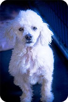 Poodle (Miniature) Dog for adoption in Freeport, New York - Teddy