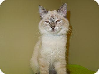 Domestic Mediumhair Cat for adoption in Medina, Ohio - Mason