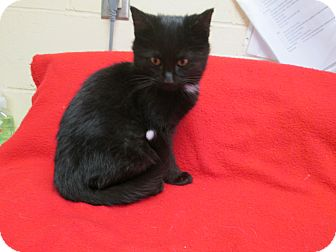 Domestic Shorthair Kitten for adoption in South Haven, Michigan - Mittens