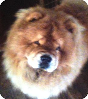 Chow Chow Dog for adoption in Kingsport, Tennessee - Mia