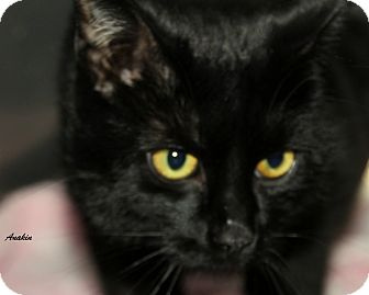 Domestic Shorthair Cat for adoption in Hibbing, Minnesota - ANAKIN