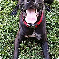 Adopt A Pet :: Stallone - Fort Riley, KS