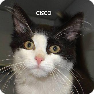 Domestic Shorthair Kitten for adoption in Lapeer, Michigan - CISCO--URGENT!!!!! SPONSORED!!