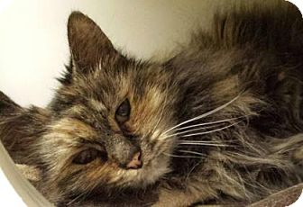 Domestic Longhair Cat for adoption in Lowell, Massachusetts - Bunkie