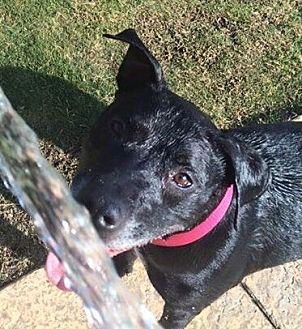 American Pit Bull Terrier Mix Dog for adoption in Tucson, Arizona - Sera