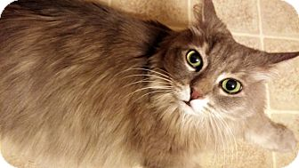 Domestic Longhair Cat for adoption in Las Vegas, Nevada - Shanti