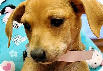 Chihuahua Mix Puppy for adoption in berwick, Maine - PollyAnna