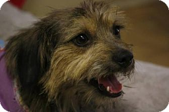 Border Terrier Mix Dog for adoption in Portland, Oregon - Sabine