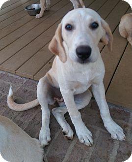Labrador Retriever/Weimaraner Mix Puppy for adoption in Glenburn, Maine - Inverness-adoption in progress