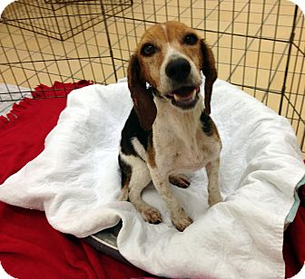 Beagle Mix Dog for adoption in Lumberton, North Carolina - Buttercup
