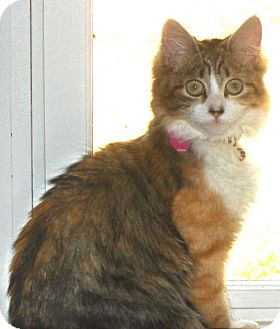 Maine Coon Cat for adoption in Buford, Georgia - Midas