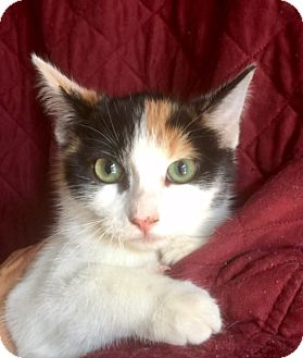 Domestic Shorthair Kitten for adoption in Corona, California - JILL