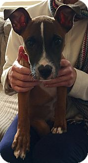 Fox Terrier (Smooth)/Beagle Mix Puppy for adoption in Brattleboro, Vermont - NICK