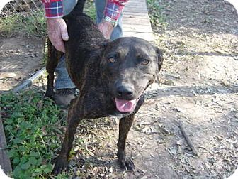 Pit Bull Terrier Dog for adoption in Cushing, Oklahoma - MAGGIE adopted
