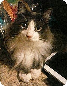 Domestic Longhair Cat for adoption in Hampton, Virginia - Thomas