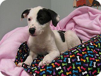 Border Collie Mix Puppy for adoption in South Dennis, Massachusetts - Possum