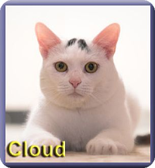 Domestic Shorthair Cat for adoption in Aldie, Virginia - Cloud