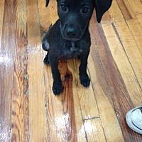 Adopt A Pet :: Olivia - Millersville, MD