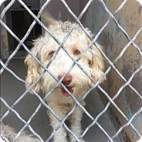 Adopt A Pet :: Gretel - Encino, CA