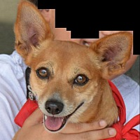 Rat Terrier/Chihuahua Mix Dog for adoption in Rockville, Maryland - Rockin Roxy