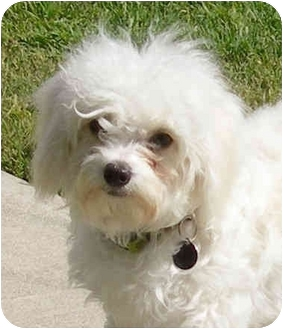 Maltese/Poodle (Miniature) Mix Dog for adoption in El Segundo, California - Sissy